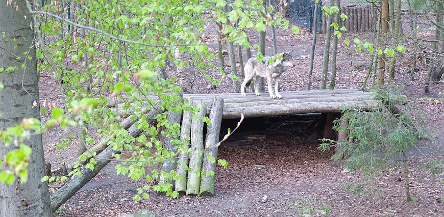 Tierpark Hexentanzplatz - Wolfsgehege