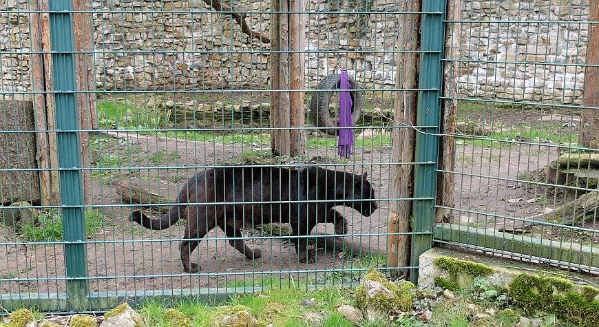 Zoo Aschersleben - Schwarzer Panther