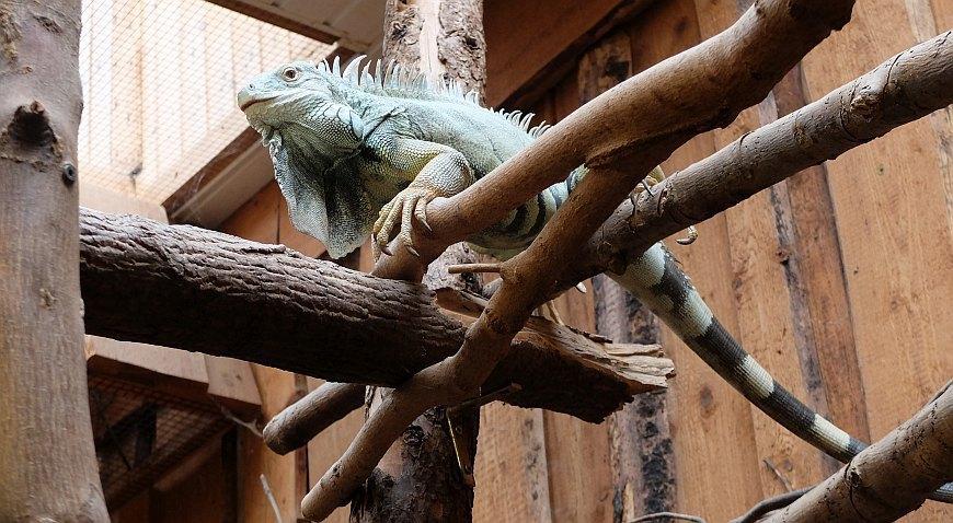 Zoo Aschersleben - Leguan im Tropenhaus