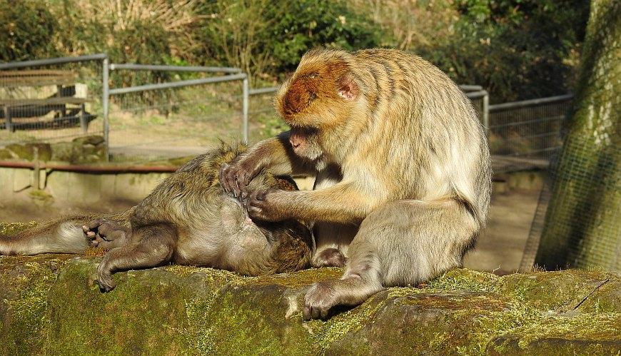 Tiergarten Halberstadt - ausgebüxte Berberaffen